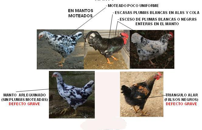 Patrón Racial Pita Asturiana